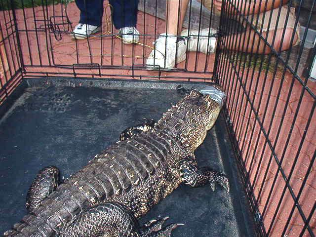 Abingdon Gator 2